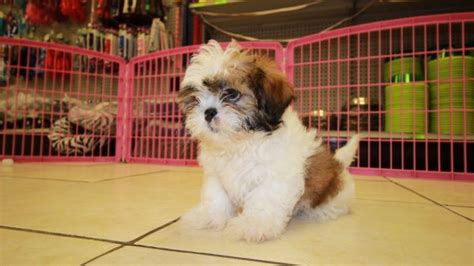 shih tzu puppies for sale in atlanta ga charming gold shih tzu puppies for sale in atlanta ga at puppies for sale