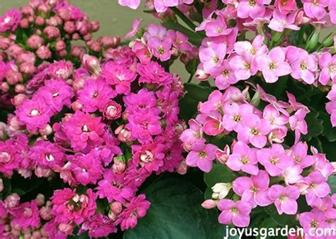 kalanchoe care   houseplant   garden