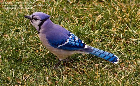 bird pictures blue jay cyanocitta cristata by plantladylin