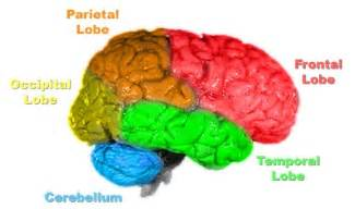 brain color human physiology the nervous system wikibooks open