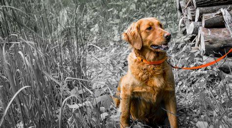 golden retrievers in ohio buckeye golden retrievers golden retriever puppies in ohio