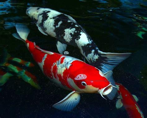 Pakan Alami Larva Ikan pembenihan ikan koi cyprinus carpio secara alami di unit