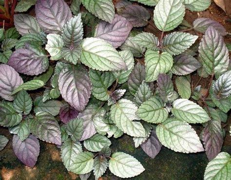 Jual Pupuk Hidroponik Makassar jual tanaman sambang getih purple waffle plant bibit