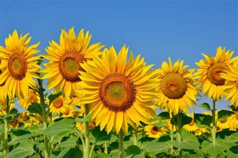 People are flocking to this beautiful sunflower field that