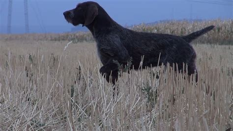 setter pointer dog hunters with english setter pointer dogs pass on water