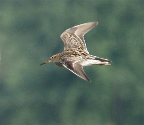 pectoral sandpiper (adult in flight) mccool basin