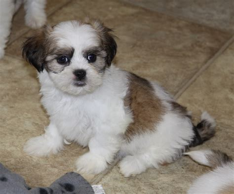 brown shih tzu puppies for sale brown white shih tzu puppy puppies for sale dogs for sale in ontario canada