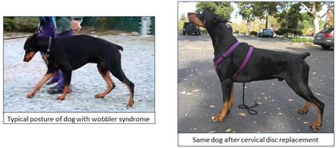 wobblers in dogs cervical disc replacement in dogs cure for wobbler quality