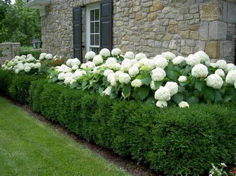 best shrubs to plant around house top 25 best front yard hedges ideas on pinterest