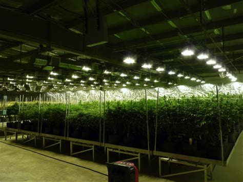 greenhouse warehouse growing cannabis on rolling benches
