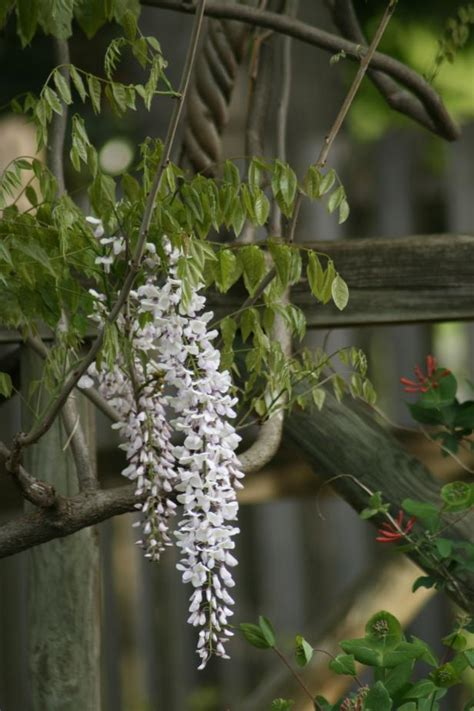 draping plants wisteria vine is a romantic garden beauty hgtv