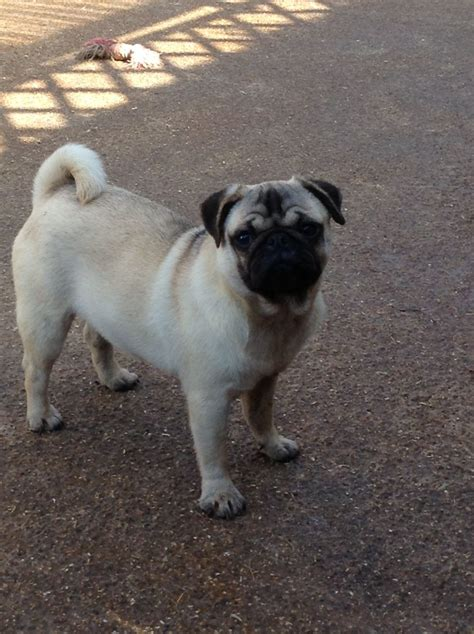 8 year pug 8 months pug hull east of pets4homes