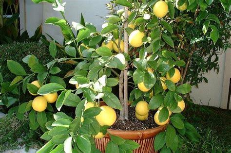 meyer lemon tree plantfiles pictures meyer lemon tree meyer s lemon tree valley lemon meyer citrus x meyeri
