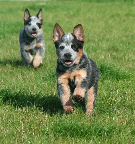 australian cattle rescue images of a blue heeler breeds picture