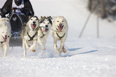 sledding facts remarkably astonishing facts about sled dogs