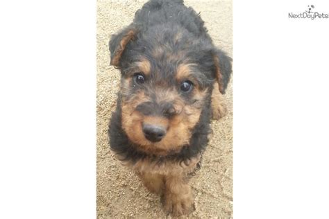 airedale puppies for sale near me airedale terrier for sale for 500 near boise idaho f6059d59 2f11
