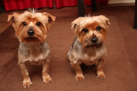 yorkie rescue yorkshire terrier dogs for adoption in for adoption 2x yorkshire terrier brothers rochdale