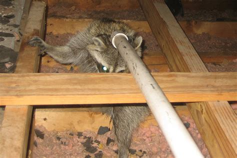 How Much Does It Cost To Remove Asbestos Garage Roof by How Much Does It Cost To Remove Raccoons From An Attic