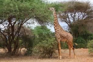 Giraffe free stock photo public domain pictures
