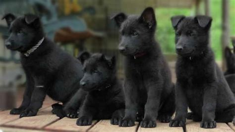 black german shepard puppy 7 things you didn t about the black german shepherd animalso