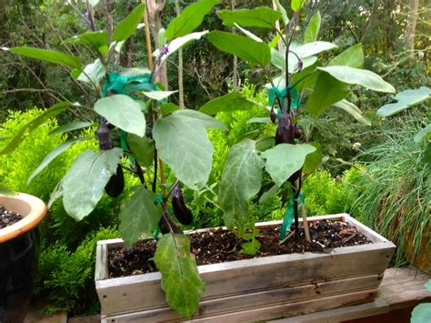 Gardening Eggplant Container Gardening Eggplants The Outside