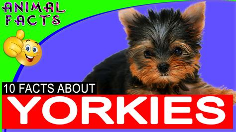 yorkie poo dogs 101 terrier breed printable masks rat terrier pictures slideshow i