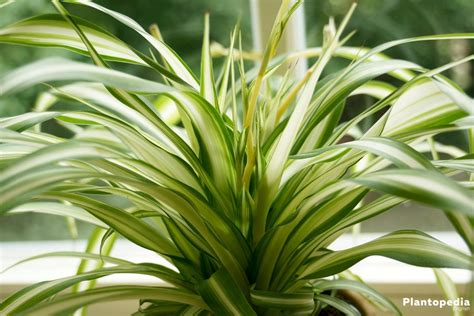 spider plant low light spider plant low light 28 images 10 best low light houseplants costa farms plants in