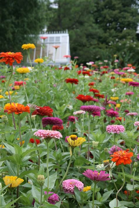 Zinnias Flower Garden 60 Best Zinnias Images On