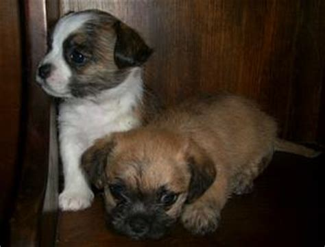 shi chi puppies shichi shih tzu chihuahua info temperament puppies pictures