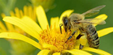 long quest    pollen     bees