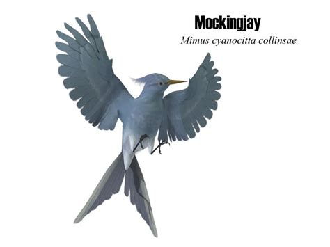 mockingjay bird pictures
