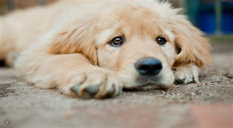 caring for a golden retriever home ilovemygoldenretriever