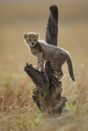 Turns Cheetah by Busch Gardens Cheetah Cub Turns 5 Wks