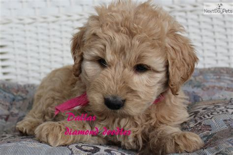 goldendoodle puppies for sale in dallas goldendoodle puppy for sale near joplin missouri