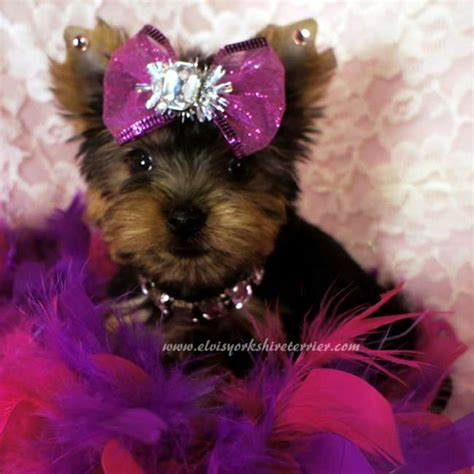 tiny teacup yorkie puppies for sale in missouri small yorkie for sale iris