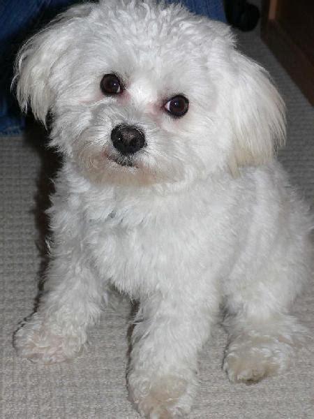 maltese puppies houston lost white maltese houston spca