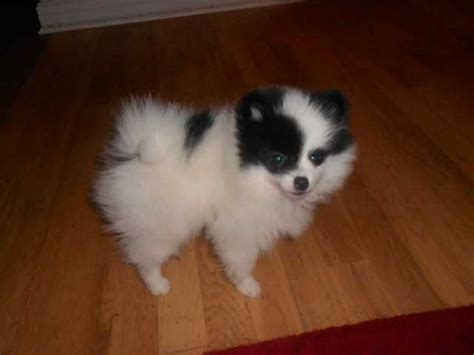 purebred pomeranian cost breed pomeranian puppies available now at affordable