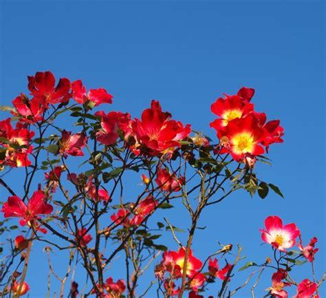coltivazione fiori rosa cocktail fiori di piante coltivare