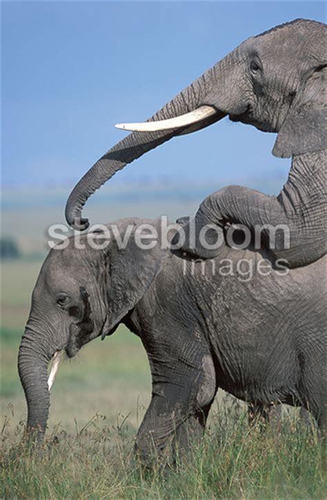 Elephant Matting by Elephants Mating Masai Mara Kenya