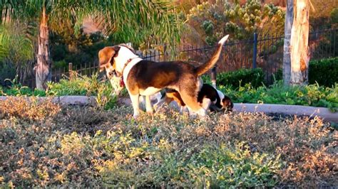akc beagle puppies beagle puppies for sale akc beagle puppies breeds