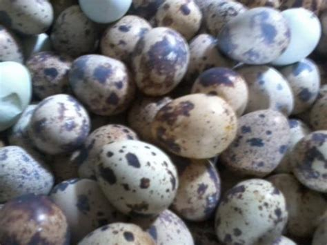 Telur Puyuh Dan Puyuh Panganan Sederhana Resep Tips Trick Sup Telur Puyuh