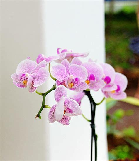 Wie Pflegt Orchideen Richtig 4793 by Die Richtige Pflege F 252 R Orchideen Markt De