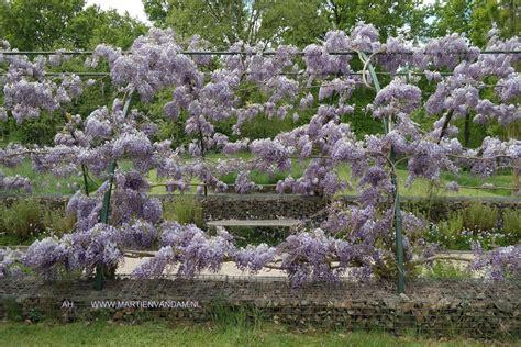 blauwe regen snoeien zomer beautiful wisteria ud blauwe regen op berceau in