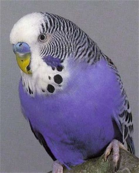 Buys A Parakeet by Budgies Customer Collection Only From Pet Shopper