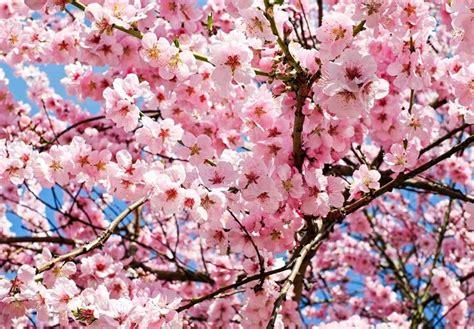 significato fiori significato fiori di ciliegio linguaggio dei fiori
