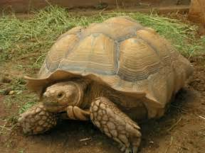 sulcata tortoise facts and pictures reptile fact