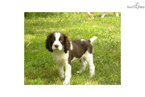 english springer spaniel bench bench springer spaniel puppies for sale 28 images