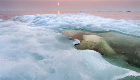 Beruang 189ml Minuman Kesehatan fakta tentang iklan beruang kutub yang menyesatkan arsipmaya