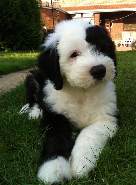 sheepdog puppy sheepdog puppies and dogs breeds picture