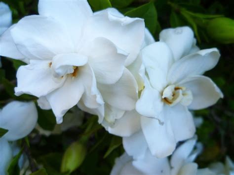 white flower shrub fragrant white gardenia flowers